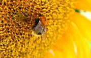 Bombus bumblebee