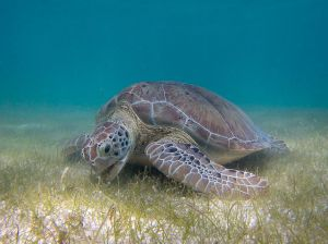 1024px-Green_Sea_Turtle_grazing_seagrass